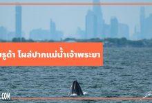 วาฬบรูด้า โผล่ปากแม่น้ำเจ้าพระยา กลางตึกสูงใน กทม.