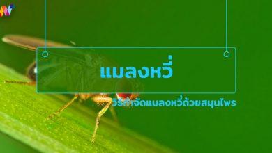 Photo of มารู้จักแมลงหวี่ และ วิธีกําจัดแมลงหวี่ด้วยสมุนไพร